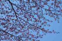 越中のトレッキング街道はお花見街道 2018/4/16